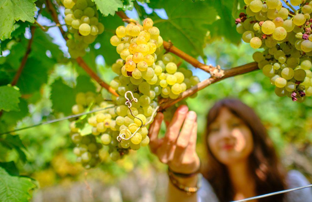 Hand einer Frau an einer Weinrebe mit Trauben