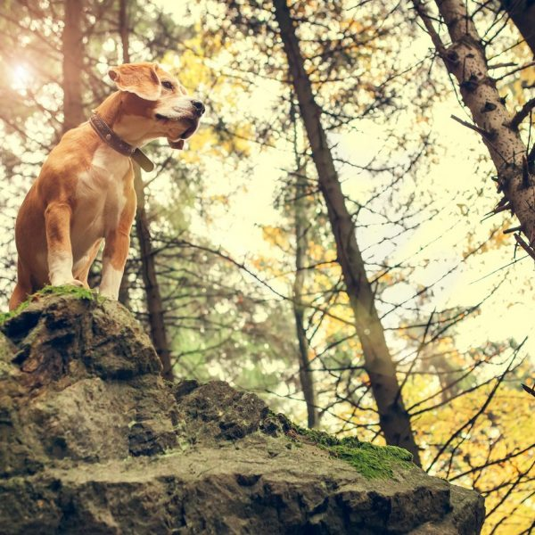 Hund im Wald auf einem Felsen